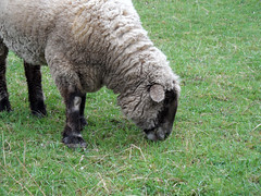 Flauschiger Dickschädel (onnola) Tags: koblenz rheinlandpfalz deutschland rhinelandpalatinate germany schaf sheep hausschaf ovisaries mouton pecora owca