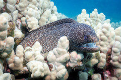Whitemouth Moray Eel (Mike Cialowicz) Tags: 918 918mm epl5 olympus ptep10 pacific scuba wa100ep diving ocean underwater eel whitemouth moray wildlife hawaii hi