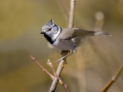 Crested Tit (Tom Dalhoy) Tags: ifttt 500px trees forest birds bird animals beautiful branch animal wood wildlife wild tits
