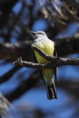Western kingbird, Tyrannus verticalis (jlcummins - Washington State) Tags: westernkingbird bird yakimacounty washingtonstate audubonroad nature fa tyrannusverticalis