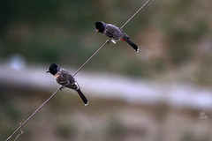 IMG_2798 (uday khatri photography) Tags: nature india bird wildlife birds udaykhatri udaykhatriphotography amazing abstract animal art ahmedabad canon care baaz eagle kite crow love parrot pigeon portrait bulbul two