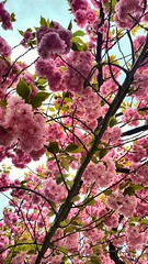 Cherry Blossom (SurFeRGiRL30) Tags: cherryblossom flowers petals beautiful nature spring pink sprung tree nj newjersey