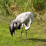 Common Crane - Grus Grus Living Life thumbnail