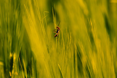 Insect in Superhero Suit (thirdphotoreceptor) Tags: grass insect soldier beetle superhero fusca cantharis d5200 nikond5200