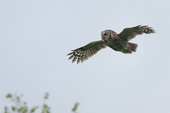 Tawny Owl Strix aluco (Peregrine's Bird Photography) Tags: bird birds aves owl nash avifauna tawnyowl codown bird strixaluco castleward photography images birds ireland photographer craig photographybird nashcraig peregrines castlewardtawnyowl photographerbird blogwwwperegrinesbirdblogblogspotcom