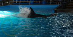 Unna5 (GypsySkye7) Tags: sanantonio believe orca seaworld shamu killerwhale unna captivity shamurocks