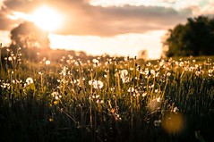Dandelions Pt 4 (Big_Nikkors) Tags: flowers sunset summer nature grass landscape dandelions chorleywood