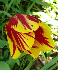 """Spritely Tulip""  IMG_0685 (kluehirschSnowpine) Tags: shadow red sunlight flower yellow illinois spring flora interior profile stripe tulip evanston mygarden iphone"