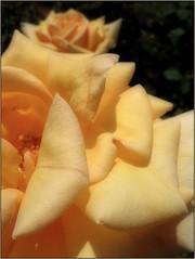 (Tölgyesi Kata) Tags: rose rózsa tuzsonjánosbotanikuskert rózsakert rosegarden withcanonpowershota620 botanikuskert botanicalgarden rosen rosa flower rosier blossom fleur virág
