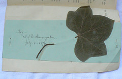 Curious Find: A Leaf of Ivy from Beethoven's Garden (Steadyjohn) Tags: beethoven ivyleaf curiousfinds beethovenhausbonn beethovensgarden