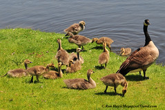 Canada Geese (Andrew Haydn Park) (Ron Hay) Tags: geese goslings canadageese