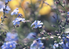 Forget Me Not II (Milasery) Tags: flowers closeup forgetmenot