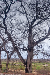 Tree (annick vanderschelden) Tags: wildlife kruger