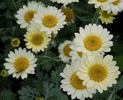 Daisy, Daisy (bjebie) Tags: flowers ohio flower daisies daisy summertime