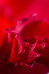 IMG_1013.jpg (Scott Alan McClurg) Tags: red plant abstract flower closeup blurry focus glow bokeh web spiderweb sharp depthoffield cobweb marco gladiola narrow closeus