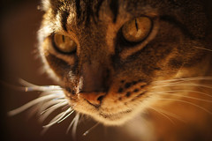 Concentrate! (Coquine!) Tags: closeup cat gate tabby whiskers katze kater tomm christianleyk