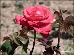 Soria -Burgo de Osma_rosa_5 roja (ferlomu) Tags: burgodeosma ferlomu flor naturaleza rosa soria masterphotos flower