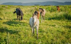 Czeskie konie (jacek.staszczuk) Tags: summer horses nature landscape village góry konie montains przyroda polarizingfilter lato czechy krajobraz sigma175028 republikaczeska nikond7000 filtrpolaryzacyjny