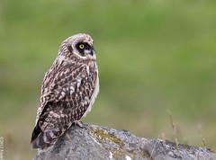 Short-eared Owl (Brandugla) 47 (sindri_skulason) Tags: shortearedowl brandugla