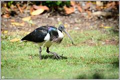 Straw-necked Ibis (Ross_M) Tags: birds australia brisbane queensland pp australianbirds ciconiiformes strawneckedibis threskiornisspinicollis threskiornithidae moggill priorspocket