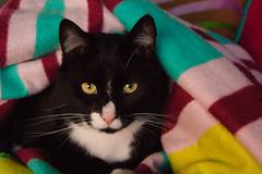 Karel in His Royal Blanket [Explored] (Fardo.D) Tags: pet white black face animal cat nose eyes whiskers blanket animalplanet