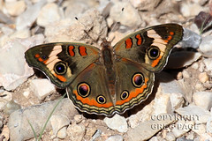 Buckeye (gregpage1465) Tags: park mountains nature butterfly insect photography photo texas greg wildlife picture national page guadalupe buckeye gregpage