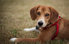 WJ Photography---Ace (2 of 2) (wjphotography) Tags: dog pets beagle canon 50mm ii 18