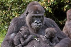 N'Gayla with kids,twins N'Kato and N'Hasa (K.Verhulst) Tags: gorilla apen ape arnhem mensaap monkeys burgerszoo nl twins tweeling specanimal photographyforrecreationclassic celebritiesofphotographyforrecreation infinitexposure nkato nhasa ngayla coth5