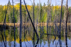 A moment for reflection. (Rob Huntley Photography - Ottawa, Ontario, Canada) Tags: autumn trees color colour fall forest reflections photography photo woods branches beaver photograph swamp pon deadtrees huntley robhuntley vision:text=0729 robhuntleyphotography