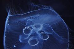 Méduse  (8) (hube.marc) Tags: jellyfish medusa manet tá qualle kwal marmoka meduus クラゲ meduza 水母 해파리 دریایی denizanası عروس uburubur медуза μέδουσα medúza медузи медузы marglyttur medúzák medusozoa stormaneter জেলিফিশ slefrenfôr smugairleróin hvalspýggjur մեդուզա 白蚱
