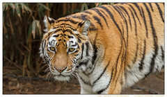 Gisa---letztes-Foto---Zoo-Duisburg-20130303-4362 (gosammy1971) Tags: orange white black nature animal animals cat germany fur deutschland photography zoo tiere feline flickr foto tiger rip natur katze predator tierpark duisburg weiss tigris tigre fell schwarz nordrheinwestfalen tier streifen pantheratigrisaltaica amurtiger pelz dierenpark panthera gisa carnivora sibirischertiger felidae siberiano northrhinewestfalia zooduisburg pelzig raubtiere altaica tigri fellnase artenschutz groskatze ussuritiger iucnendangered prädator mamavonahimsa muttervonahimsa praedatio sibiarian