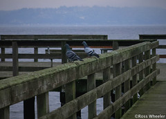 Watching (RossWheeler) Tags: ocean seattle wood blue autumn trees winter sea brown white cold cute green bird fall feet water birds animal animals dark photography harbor pier wooden washington ross wings dock waves pigeon pigeons tail gray grain wing feathers feather stormy sound wheeler railing plank planks tails puget tramp seas vashon planking
