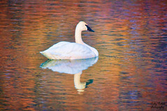 swan (Pattys-photos) Tags: swan swanvalley