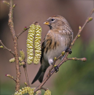 Redpoll on catkins ( Explored )
