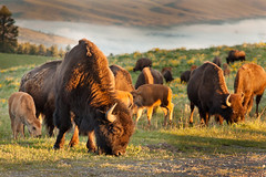 Bison Grazing (slschlager) Tags: animal buffalo montana horns valley calf bison tatonka heard nationalbisonrange