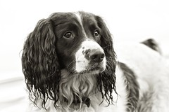 'Dylan' Springer Spaniel - Dittisham, Devon. (EXPLORED 21/1/14 #102) (johnlunt) Tags: uk portrait england blackandwhite bw dog dylan west cute horizontal closeup digital canon john lens eos mono is photo solitude sad image zoom britain mark candid south country softness adorable explore devon photograph ii l 5d spaniel springer 70300mm toned dartmouth freshness pedigree lunt dittisham alertness explored johnlunt 5dmk2