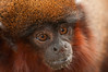 Red Titi Monkey Face