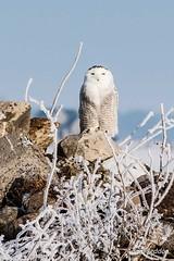 Snowy Owls-38 (Adam_12) Tags: winter bird ottawa owl birdofprey snowyowl buboscandiacus ef70200lf4 canon50d