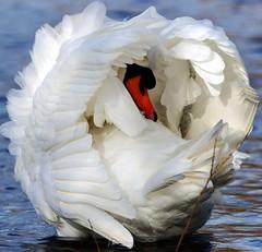 Swan Snowball (paulinuk99999 (lback to photography at last!)) Tags: park swan bushy paulinuk99999 sal70400g