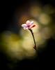 flowerin' plum (mnhoj) Tags: floweringplum nikon100mm28e catcanspeedbooster