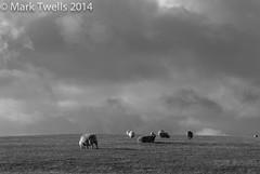 sheep (Mark Twells) Tags: england unitedkingdom gbr allstretton