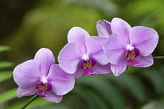 Orchid Trio (rianklong) Tags: california ca plant orchid flower green losangeles purple arboretum greenhouse tropical trio arcadia losangelesarboretum canonef70200mmf28lisusm canonextenderef2xii canoneos5dmarkii canon5dmarkii