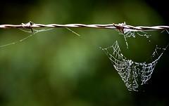 (ElisModena) Tags: morning spider drops nikon dew webs teia d5100 nikond5100
