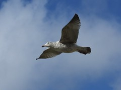 Seagull (ramridgedave) Tags: wild bird flying beds gull chilterns flight feather bedfordshire