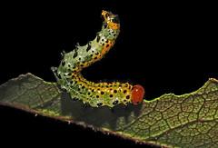 (Arge ochropus) (Zéza Lemos) Tags: flores insectos primavera portugal rose natureza natur flor algarve rosas vilamoura insecto selvagem pétalas lagartas mygearandme mygearandmepremium infinitexposure