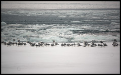 web_DSC00212 (Lens Bubbles) Tags: seagulls snow sony lakeontario frozenlake minoltarfrokkorx250mmf56 nex6