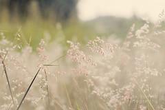 Love pink (Victoria de Bonilla) Tags: pink flower 50mm flor rosa