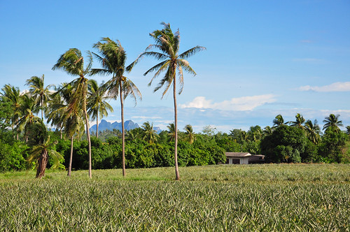 Thailand, Hua-Hin, pineapple plantation