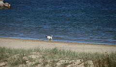 2017 Sydney: Botany Bay #3 (dominotic) Tags: sydney nsw australia newsouthwales 2017 dog botanybay water beach brightonlesands portbotany sydneyairport airportrunway ladyrobinsonsbeach