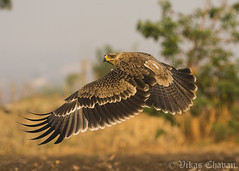 Juvenile Tawny Eagle. (Vikas.B.Chavan) Tags: nikond7100 afsnikkor300mmf4difed tawnyeagle aquilarapax naturethroughthelens